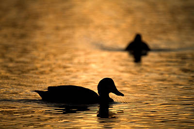 Photograph - On Golden Pond by Brad Grove