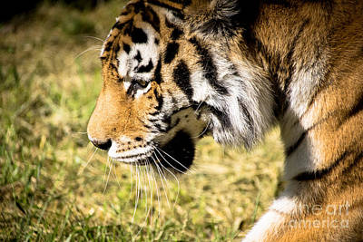 Photograph - On The Prowl by Julie Clements