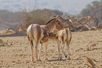 Onager (equus Hemionus) Art Print