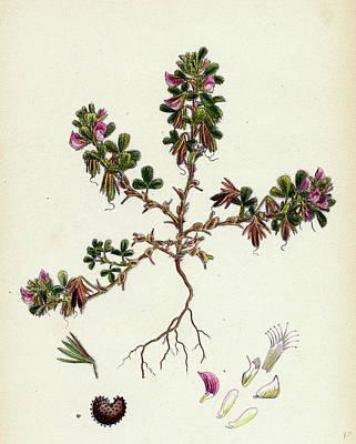 Ononis Reclinata Small Spreading Rest-harrow Art Print by English School