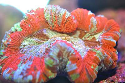 Photograph - Open Brain  Coral  by Puzzles Shum