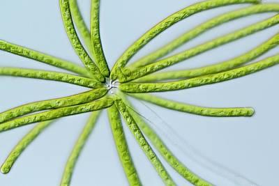 Unicellular Photograph - Ophiocytium Sp. Heterokont Alga by Gerd Guenther