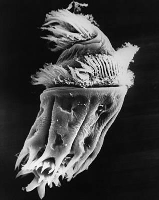 Photograph - Ophryoscolex Ciliate Sem by Greg Antipa