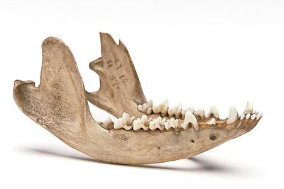Opossum Jawbone Art Print by Ucl, Grant Museum Of Zoology
