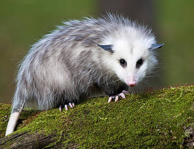 Opossum  Art Print by Paul Cannon