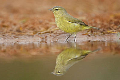 Starr Photograph - Orange-crowned Warbler (vermivora Celata by Larry Ditto