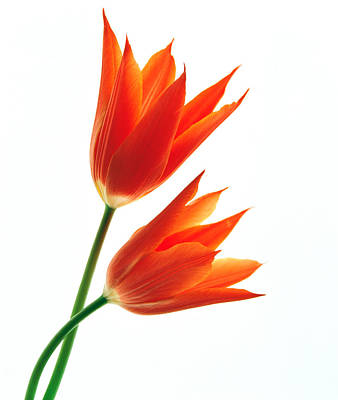 Orange Flowers Against White Background Art Print by Panoramic Images