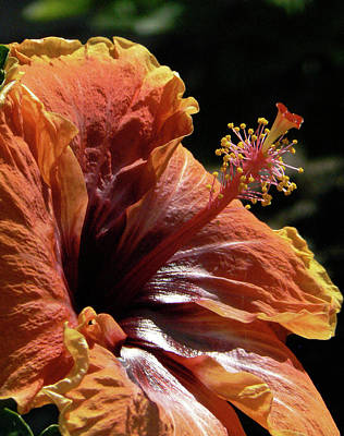 Photograph - Orange Hibiscus Flower by Margaret Saheed