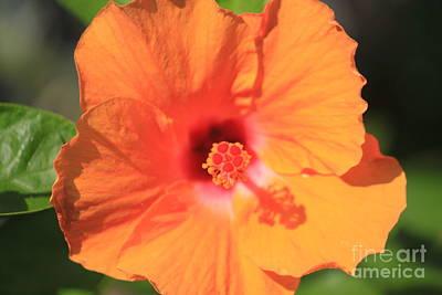 Wall Art - Photograph - Orange Hibiscus by Sara Ricer