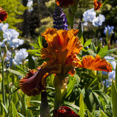 Orange Iris Art Print