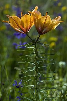 Lilium Bulbiferum Photograph - Orange Lily Lilium Bulbiferum by Bob Gibbons