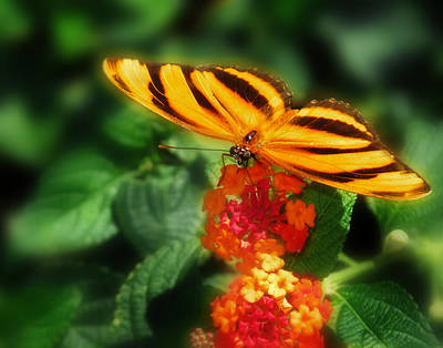 Photograph - Orange Tiger Butterfly by David and Carol Kelly
