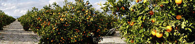 Orange Photograph - Orange Trees In A Field, Vinaros by Panoramic Images