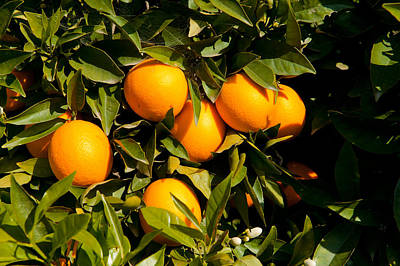 Oranges On A Tree, Santa Paula, Ventura Print by Panoramic Images