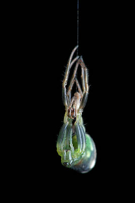 Orb Weaver Spider Photograph - Orb-weaver Spider Moulting by Melvyn Yeo
