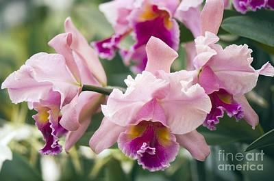 Orchid Cattleya Sp Print by Maria Mosolova