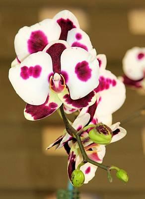 Photograph - Orchid by Jane Girardot
