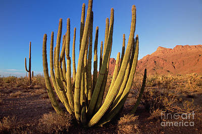 Photograph - Organ Pipe Cactus Natl Monument by Yva Momatiuk John Eastcott