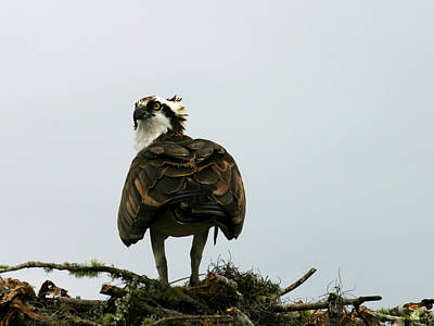 Photograph - Osprey by Anthony Jones