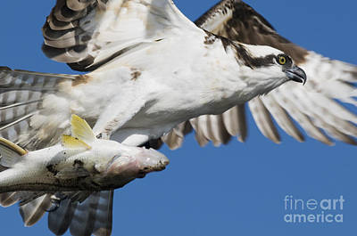 Photograph - Osprey by Dan Suzio