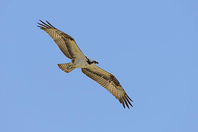 Comedian Drawings - Osprey in Flight by Steve Samples
