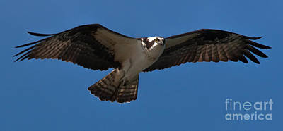 Photograph - Osprey In Flight by Ursula Lawrence