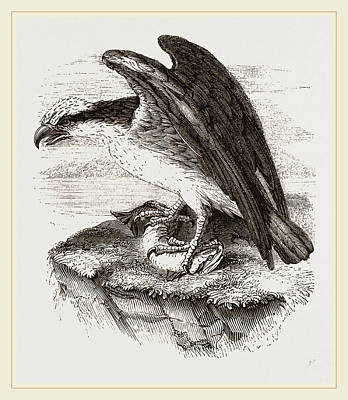 Osprey Drawing - Osprey by Litz Collection