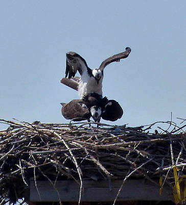Photograph - Osprey Mating by Thomas Samida