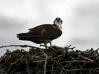 Photograph - Osprey Nest by Anthony Jones