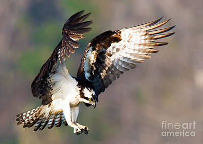 Photograph - Osprey by Ursula Lawrence