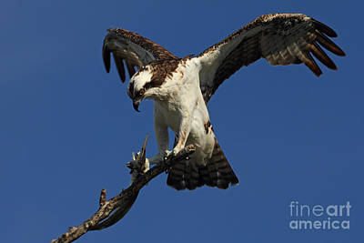 Photograph - Osprey With A Fish Photo by Meg Rousher