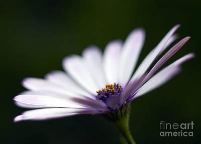 Violet Photograph - Osteospermum Daisy by Tony Cordoza