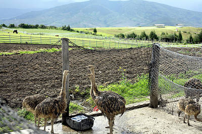 Ostrich Wall Art - Photograph - Ostrich Farm by Dr Morley Read/science Photo Library