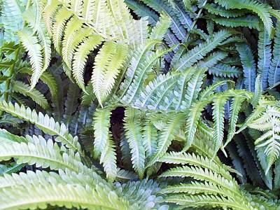 Photograph - Ostrich Fern by Gene Cyr
