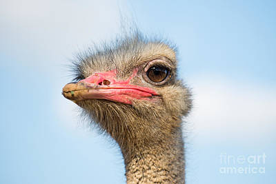 Feathers Photograph - Ostrich by George Atsametakis