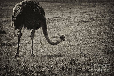 Ostrich Photograph - Ostrich In Black And White by Douglas Barnard