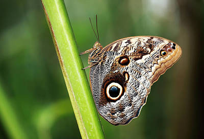 Photograph - Owl Butterfly by Grant Glendinning