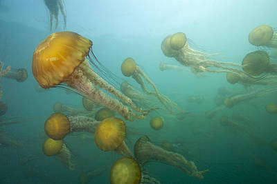 Photograph - Pacific Sea Nettles Monterey Bay by Richard Herrmann