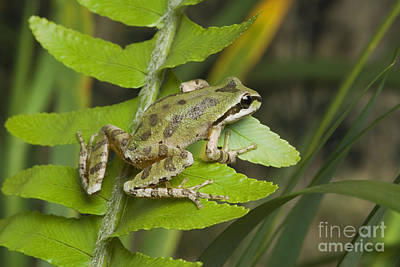 Photograph - Pacific Treefrog by Dan Suzio