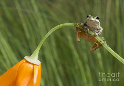 Photograph - Pacific Treefrog On California Poppy by Dan Suzio