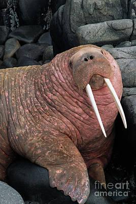 Photograph - Pacific Walrus Bull Round Island by Yva Momatiuk John Eastcott