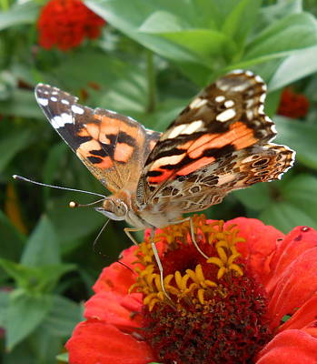 Photograph - Painted Lady Butterfly  by Diannah Lynch