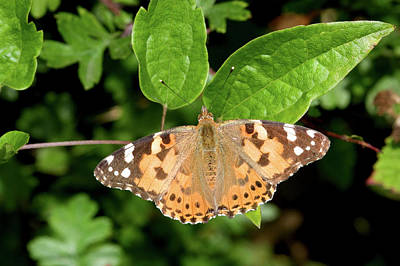 Vanessa Wall Art - Photograph - Painted Lady Butterfly by John Devries/science Photo Library