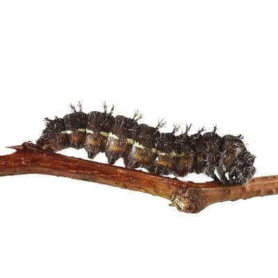 Vanessa Wall Art - Photograph - Painted Lady Caterpillar by Science Photo Library