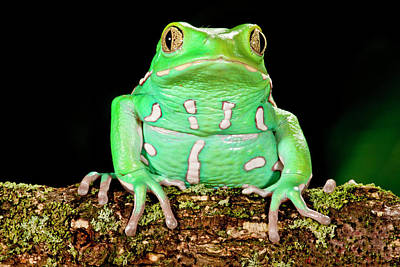 Anuran Photograph - Painted Monkey Frog, Phyllomedusa by David Northcott