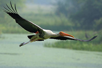 Grace Photograph - Painted Stork In Flight,keoladeo by Jagdeep Rajput