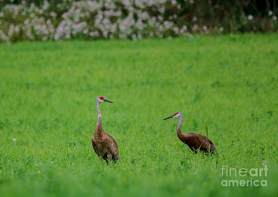 Photograph - Pair Of Cranes by Cheryl Baxter