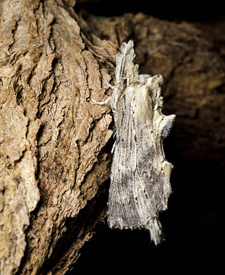 Of Kittens Photograph - Pale Prominent Moth by Nigel Downer