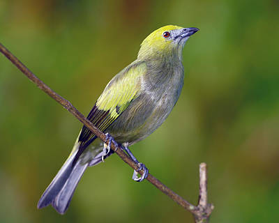 Valentines Day - Palm Tanager by Tony Beck