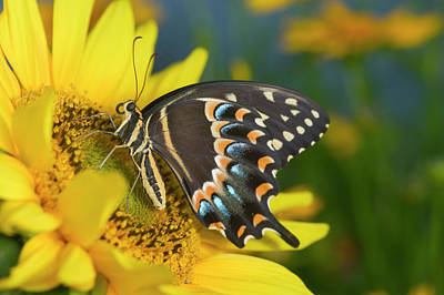Blue Swallowtail Photograph - Palmedes Swallowtail Butterfly by Darrell Gulin